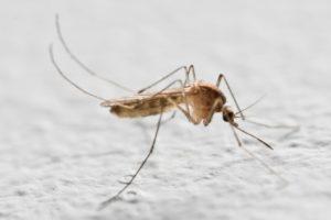 יתוש קולקס ( כולכית הבית / טורדנית)