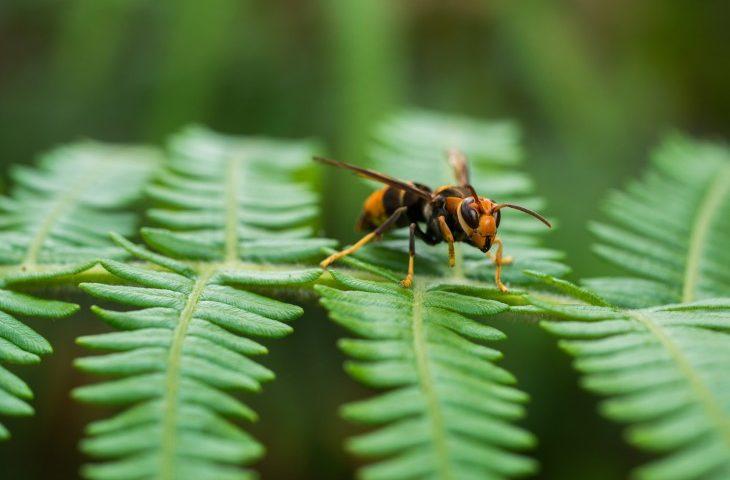 צרעה מזרחית ( דבור)
